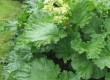 Rabarber in bloei